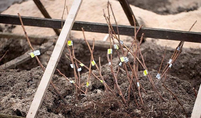 Как хранить саженцы деревьев до посадки в квартире или доме