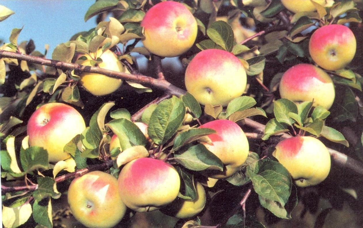 Сорт яблони имрус - агро журнал dachnye-fei.ru