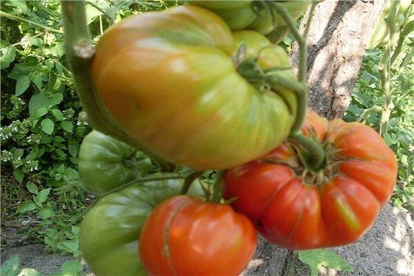 Томат сибирские шаньги: характеристика и описание среднераннего сорта с фото