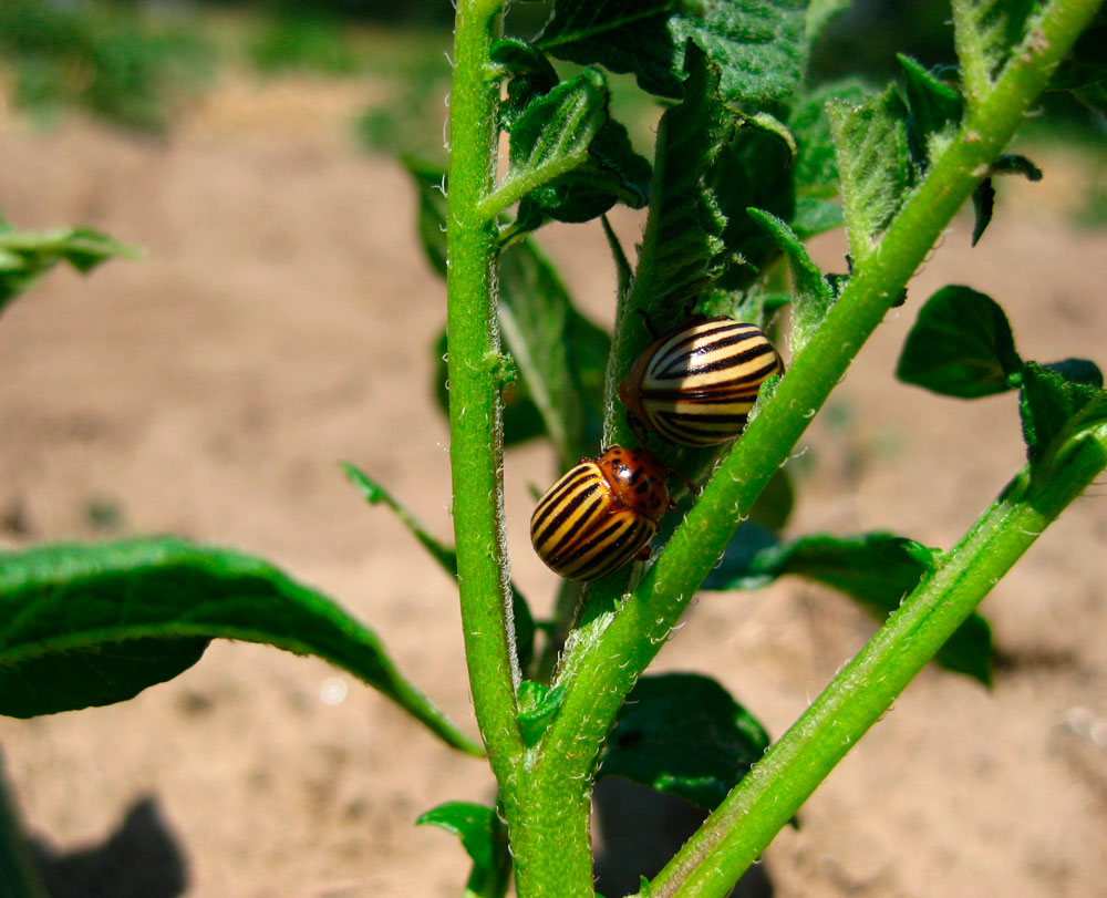 Колорадский жук - борьба с ним, как избавиться народными средствами?