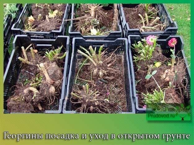 Розмарин: выращивание и уход в открытом грунте