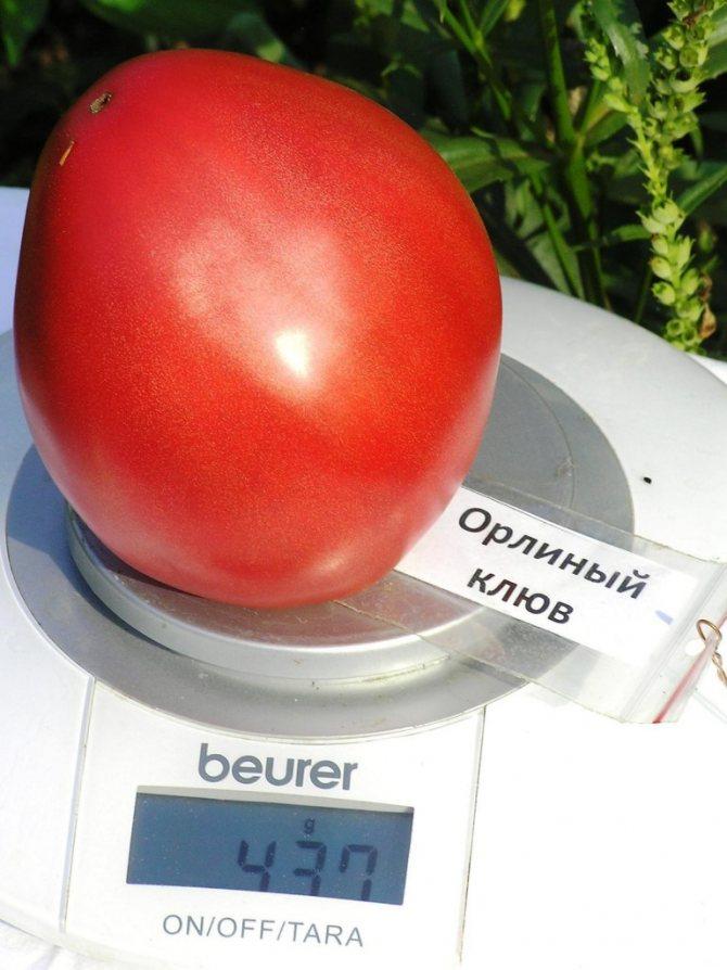 Помидор орлиный клюв: характеристика сорта и особенности выращивания