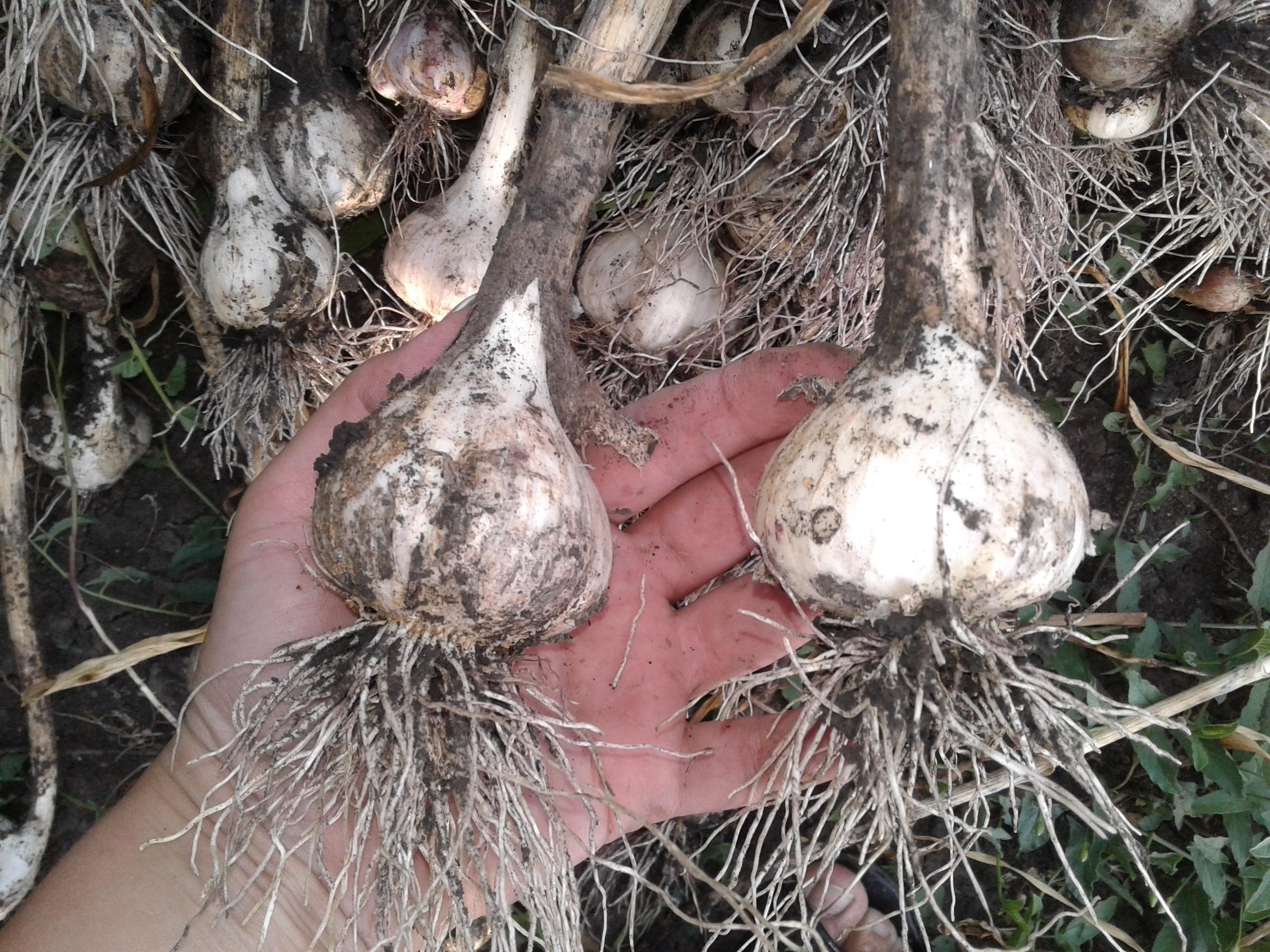 Когда убирать чеснок, посаженный под зиму: сроки и правила уборки, методы хранения зимнего чеснока