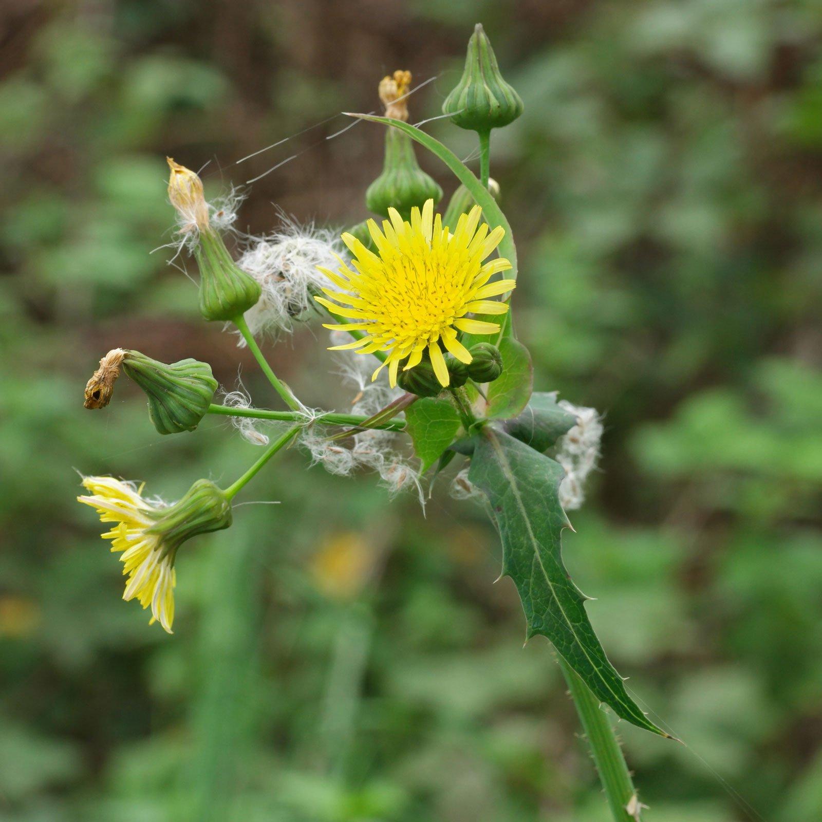 Осот: полезные свойства травы и противопоказания, вред
