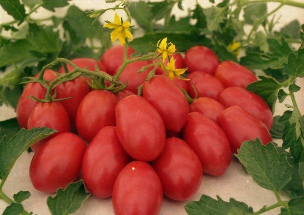 Фото, видео, характеристика, урожайность, отзывы и описание гибрида томата «cчастье русское f1»