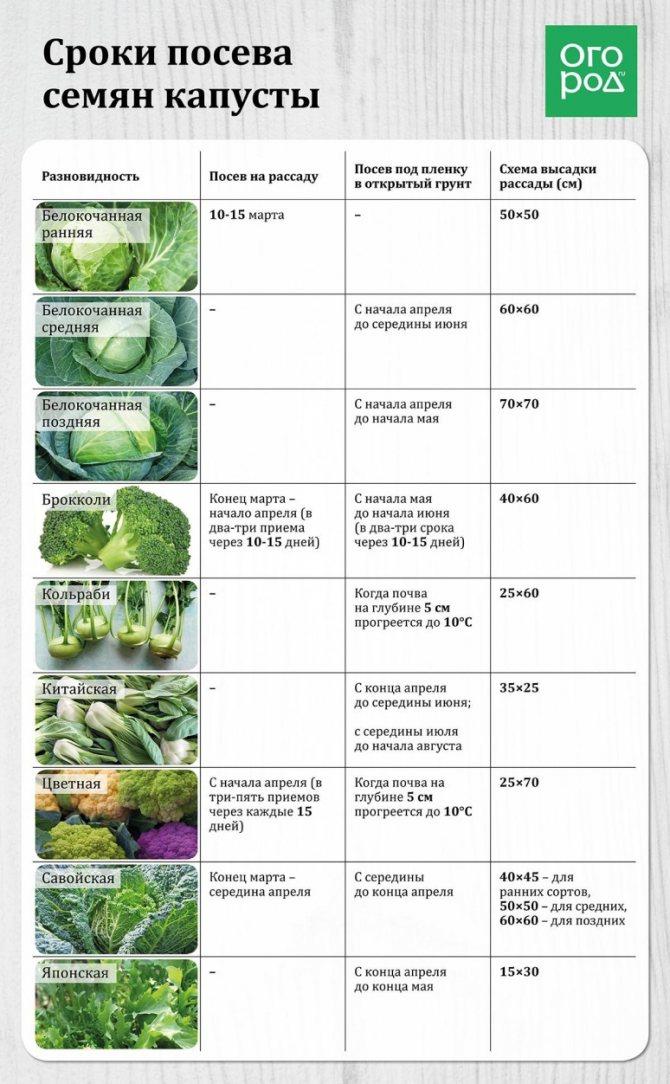 Как поливать капусту в открытом грунте, после высадки