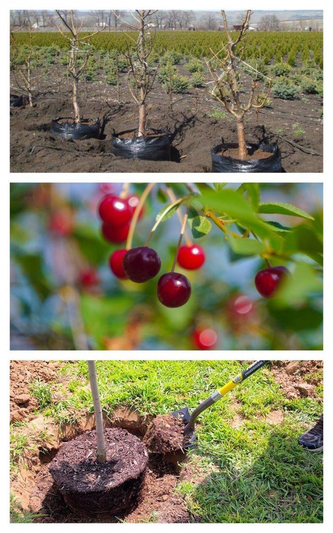 Как правильно посадить черешню, как сажать весной, пошаговое руководство, схема посадки, инструкция, особенности ухода за саженцами + видео