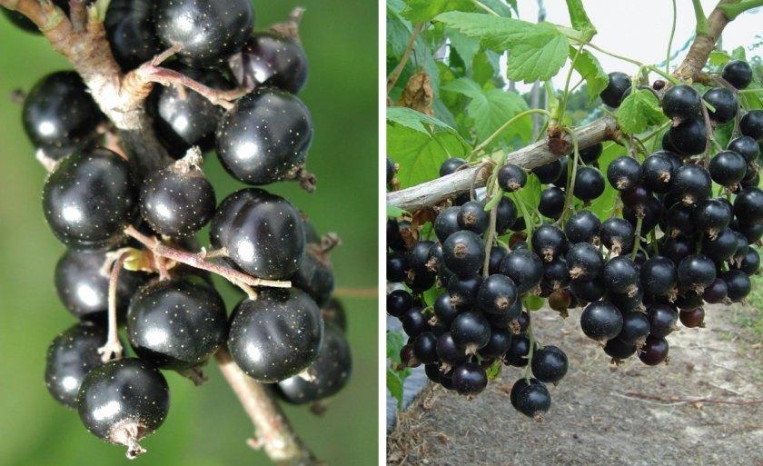 Чем отличаются сорта черной смородины селеченская и селеченская-2