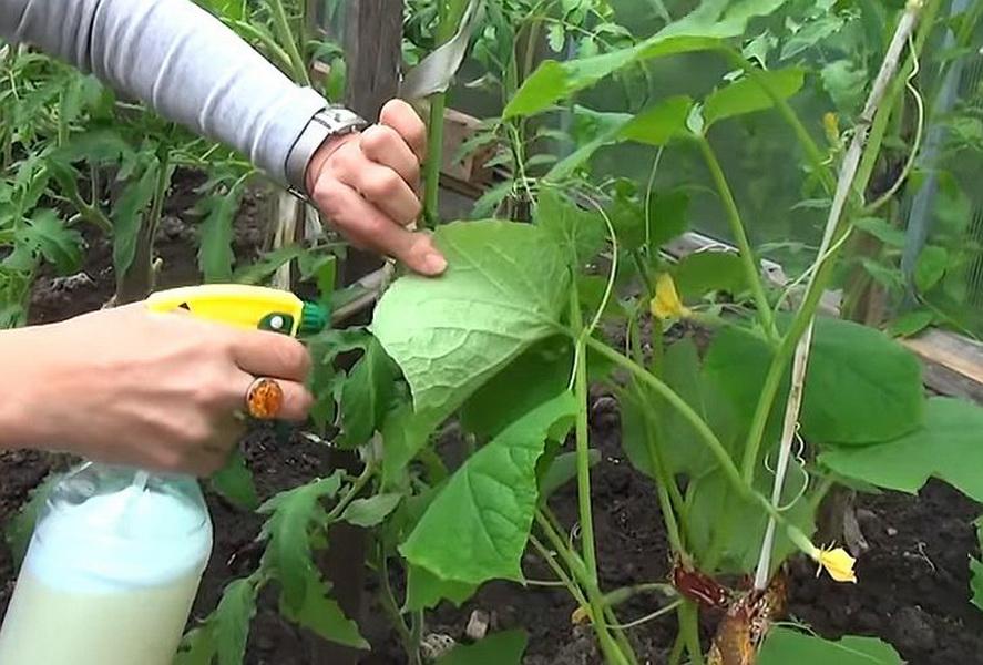 Подкормка огурцов в открытом грунте народными средствами: чем удобрять, чем полить