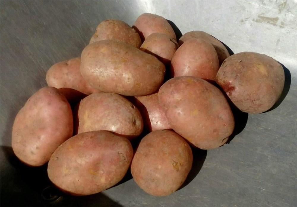 Картофель хозяюшка: описание и характеристика сорта, правила выращивания, фото