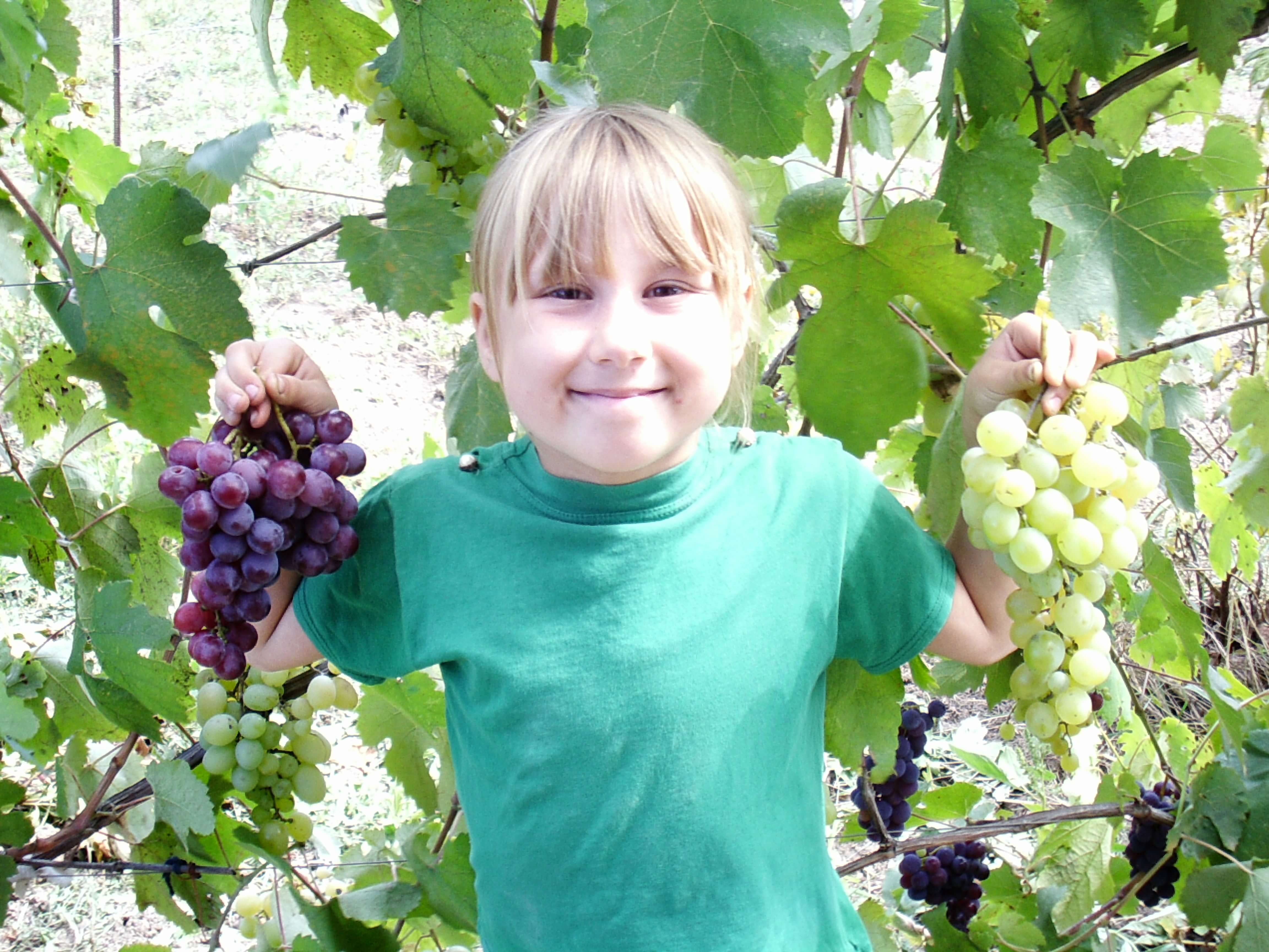 Виноград зилга: характеристика и описание, посадка и уход