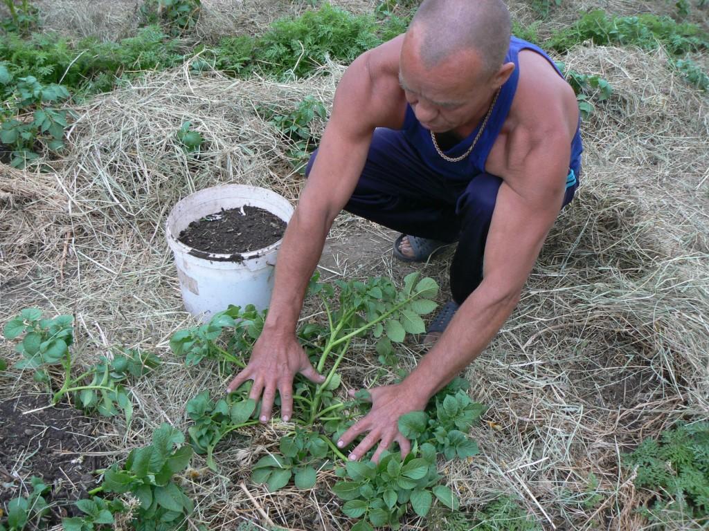 Пошаговая инструкция и особенности веерного окучивания картофеля