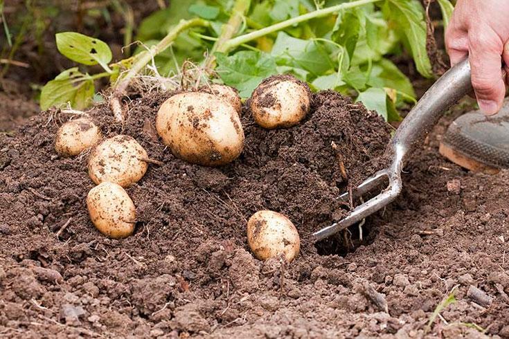 Посадка и уход за картофелем в открытом грунте: советы по окучиванию и поливу