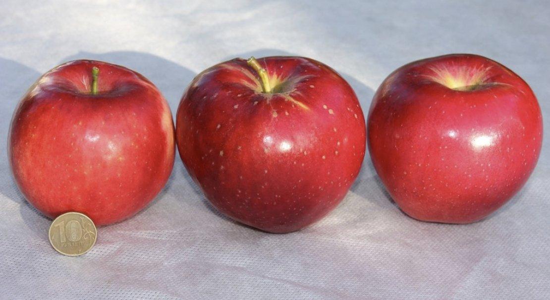 Новичок в садах: яблоня веньяминовское, описание и отзывы о сорте