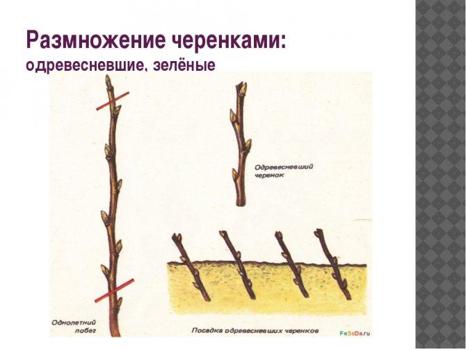 Как размножить крыжовник - 95 фото, полезные советы и рекомендации как правильно размножить куст