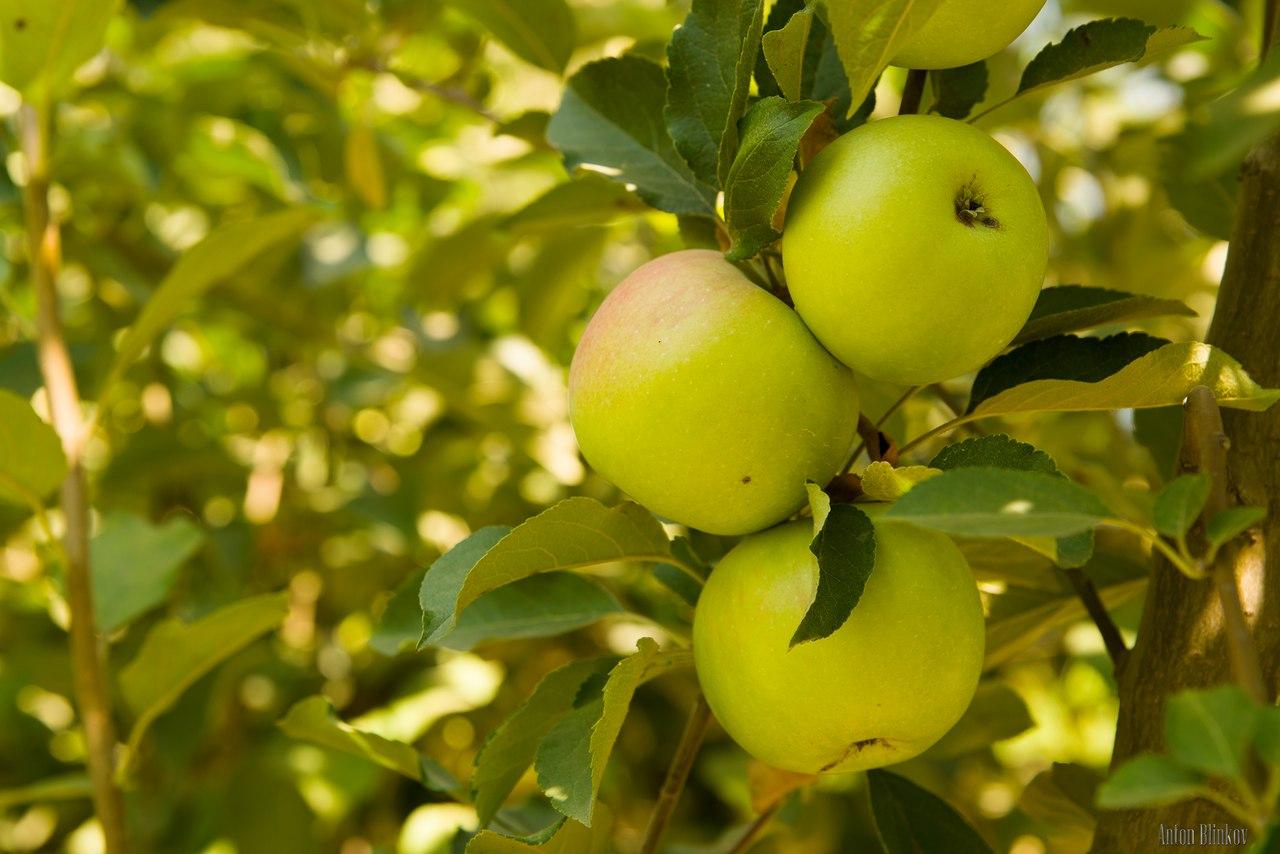 Яблоня солнышко: описание и характеристики сорта, правила посадки и ухода