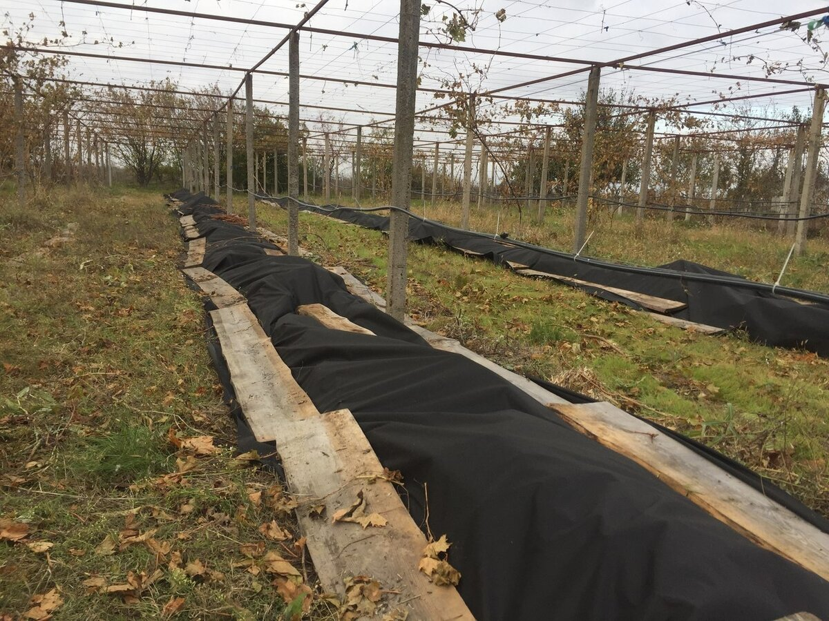 8 способов укрытия винограда на зиму
