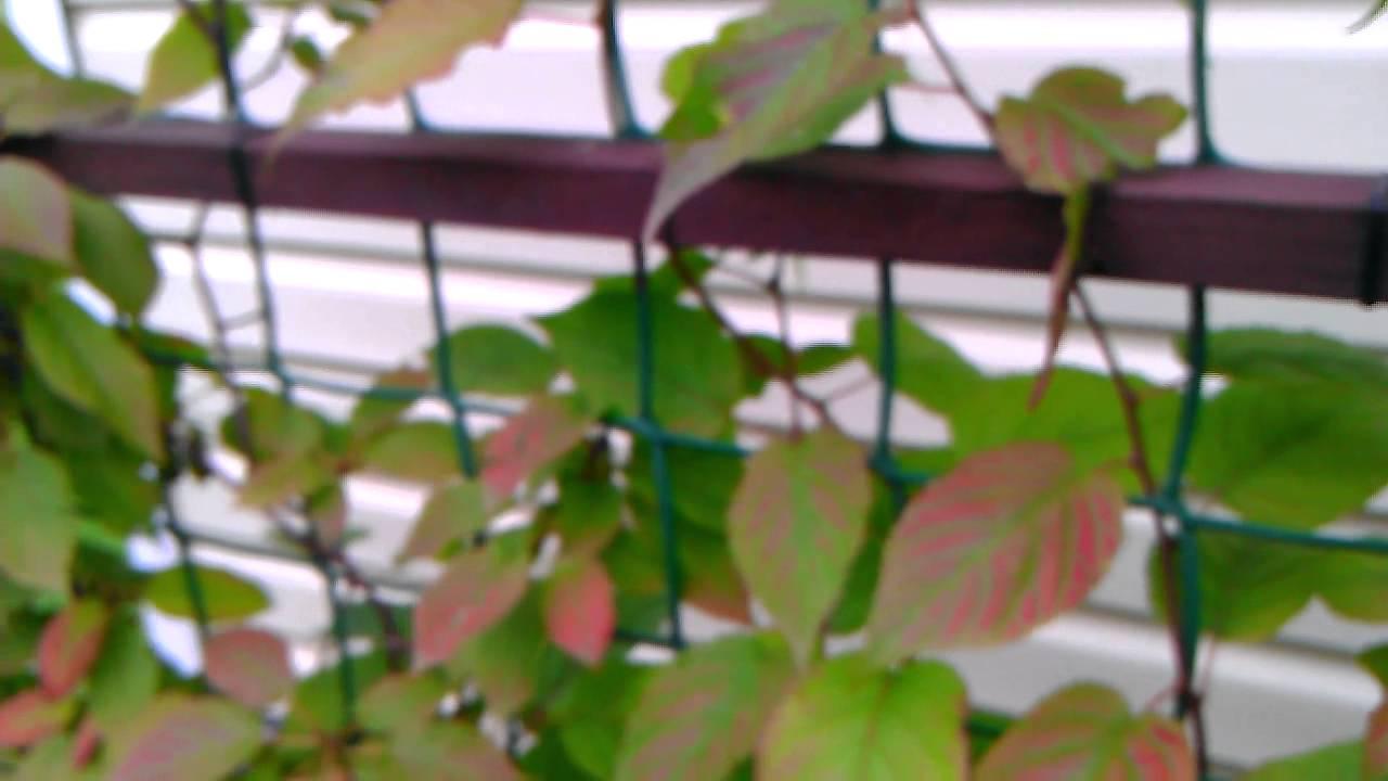 Актинидия коломикта: посадка и уход популярных сортов в открытом грунте