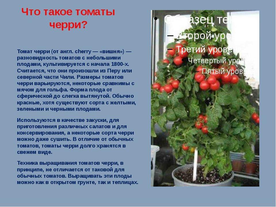 Помидоры чили верде: описание и характеристика сорта, выращивание и уход с фото