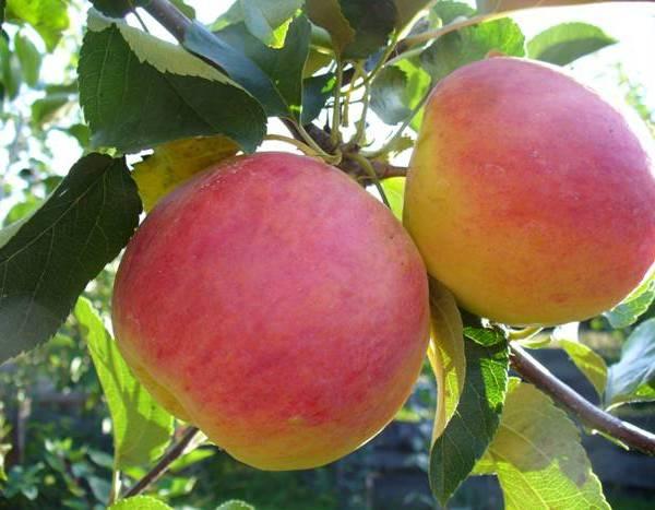 Яблоня «благая весть»: описание и характеристика, подготовка и посадка, уход за саженцами, фото