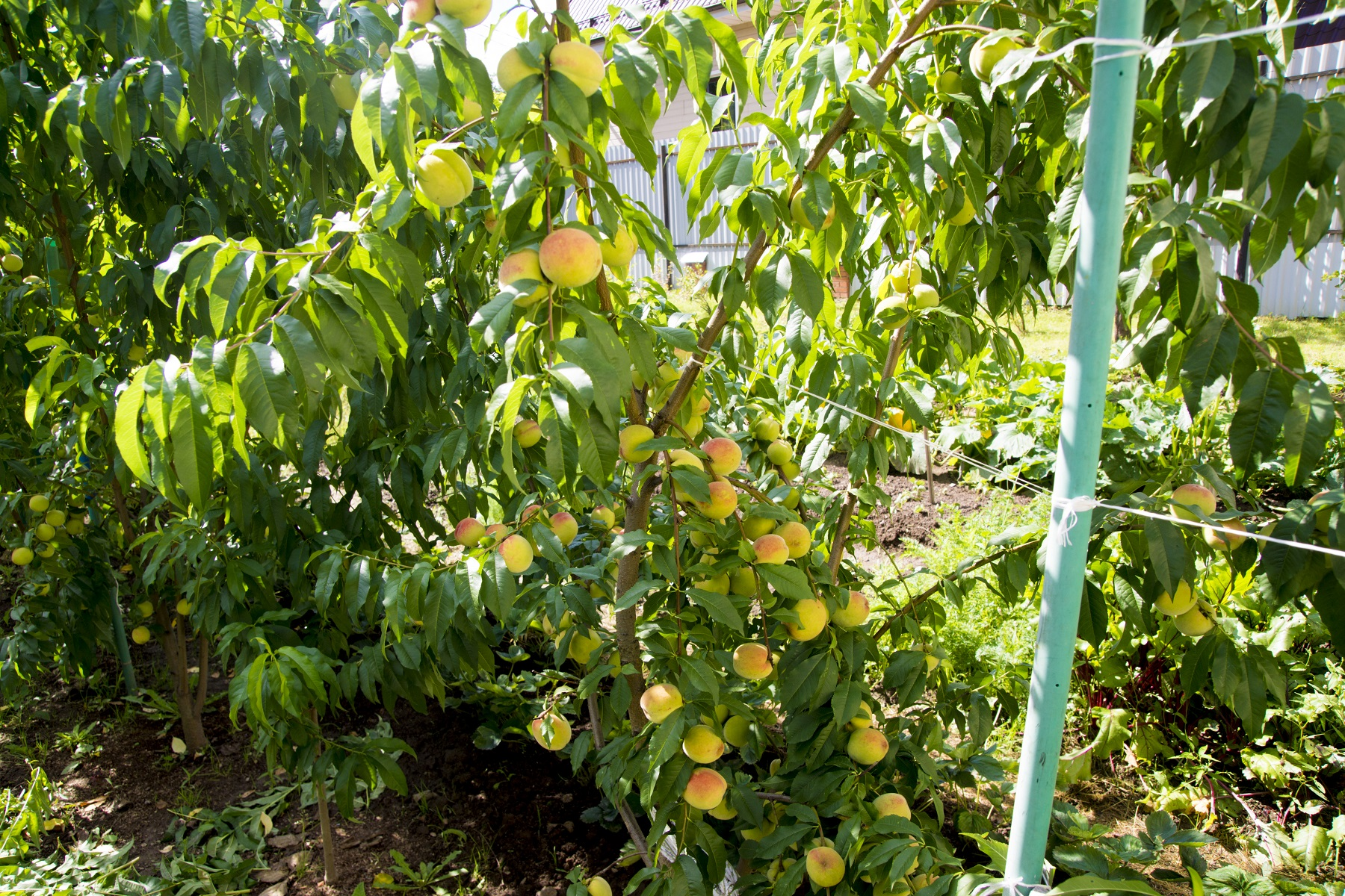 Нектарины вырастить в подмосковье. правила выбора сорта персика и нектарина для подмосковья | зелёный сад