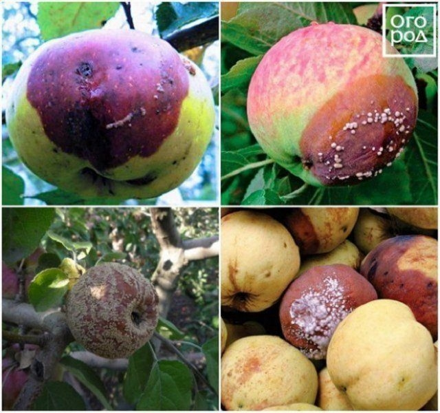 Плоды сливы осыпаются: почему слива сбрасывает плоды , что делать