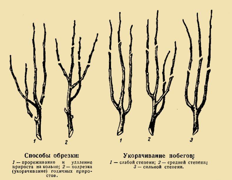 Обрезка колоновидной груши осенью для начинающих: схема в картинках пошагово, фото, видео