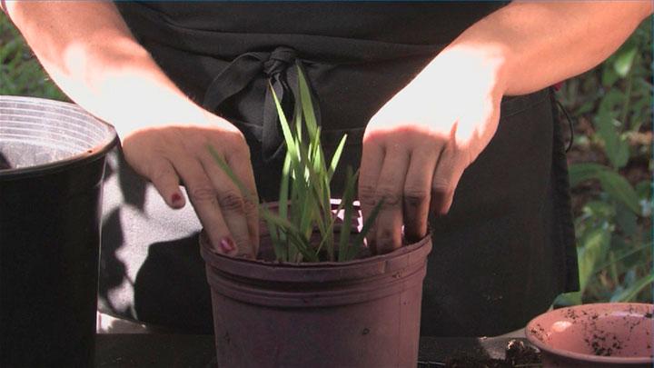 Фрезия: виды и сорта, особенности выращивания, размножения