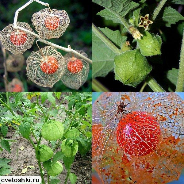 Физалис — выращивание, посадка, уход, виды, полезные и опасные свойства