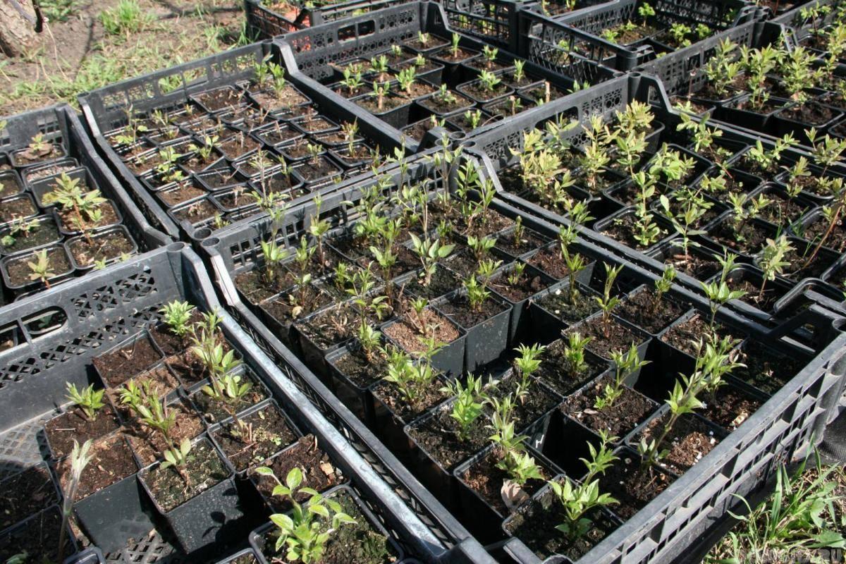 Как вырастить клематис из семян: пошаговая инструкция