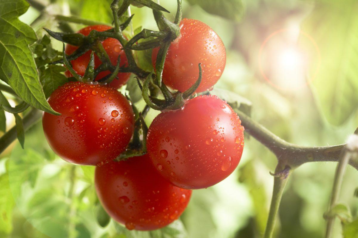 Характеристика и описание сорта помидоров каспар f1