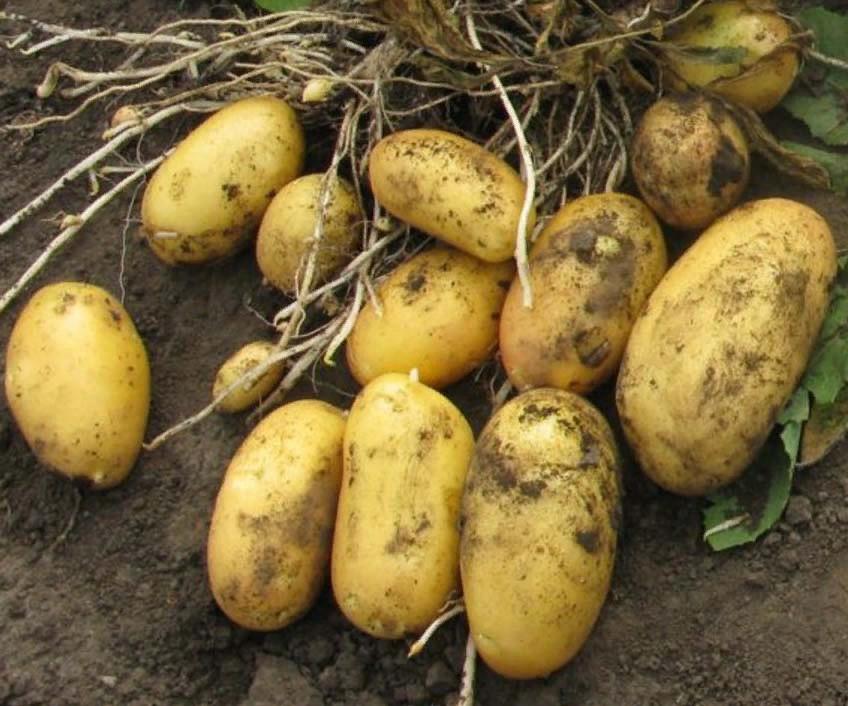 Нетребовательный к уходу и щедрый на урожаи картофель — лабелла: описание сорта и отзывы