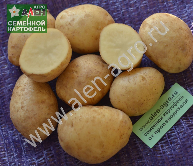 Картошка чародейка: описание сорта, фото и уход