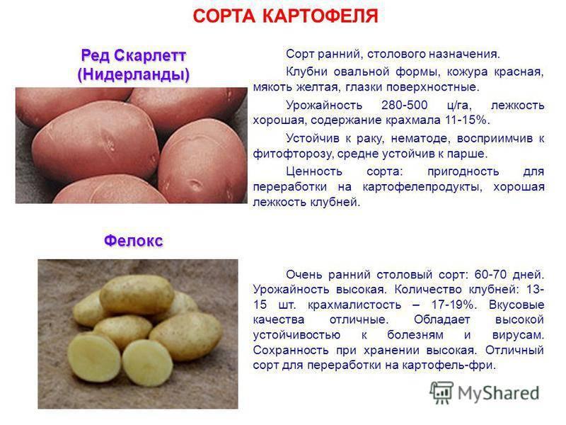 Картофель вектор: описание сорта, фото, отзывы