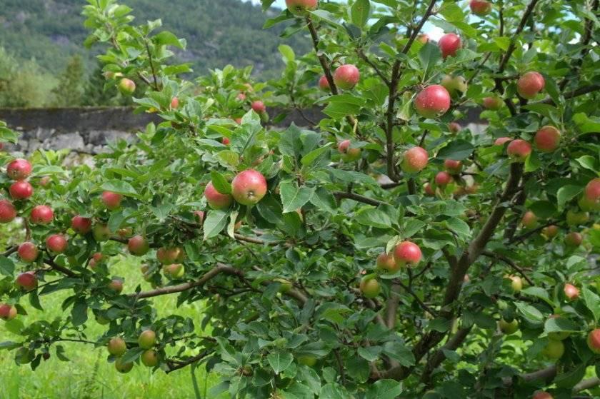 Яблоня - описание 25 лучших сортов с отзывами о них (фото)