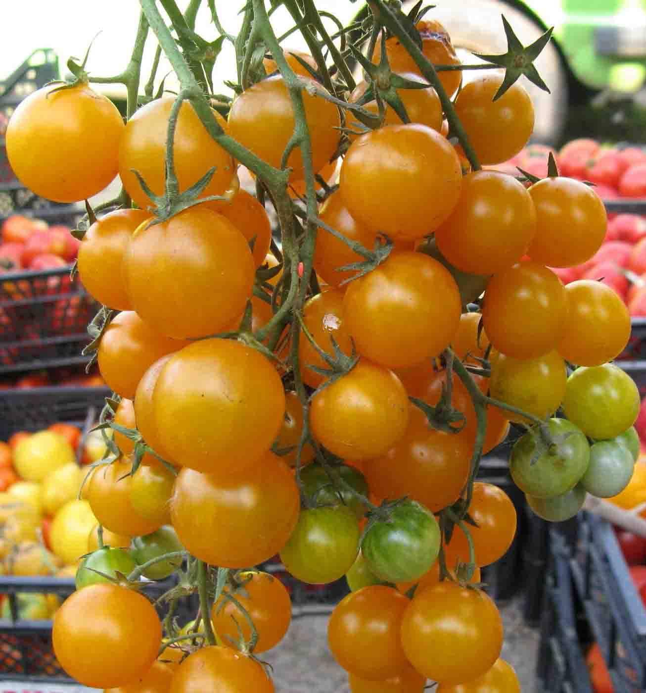 Томат вишня желтая (золотая): характеристика и описание сорта, урожайность с фото