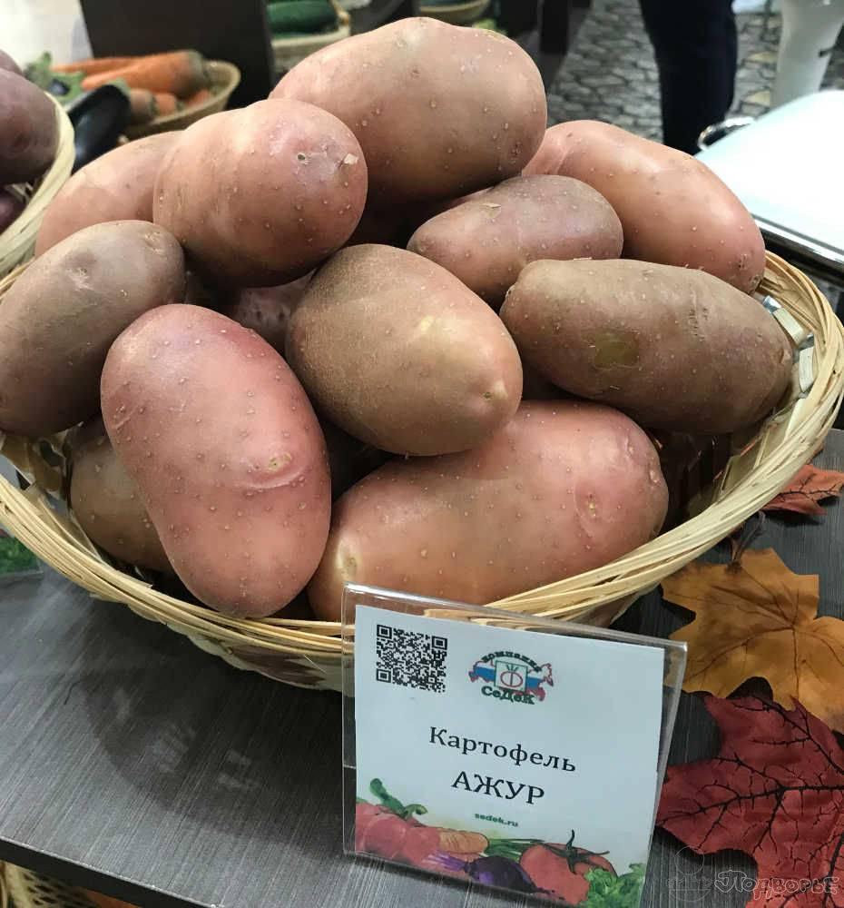 Картофель сорт ирбитский описание сорта фото отзывы