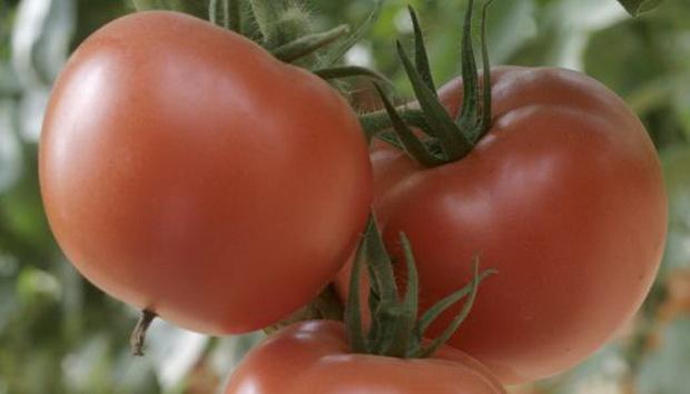 Томат стреза: описание сорта помидоров, отзывы об их выращивании, фото кустов и полученного урожая