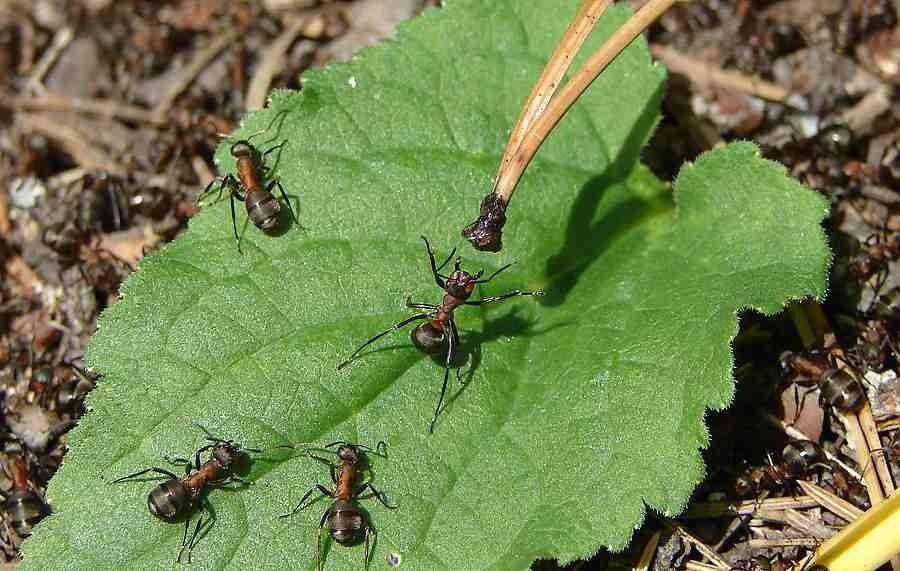 Что делать, если муравьи едят капусту, как избавиться от них - всё про сады