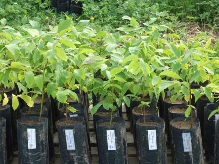 Как посадить и вырастить грецкий орех? уход в условиях открытого грунта