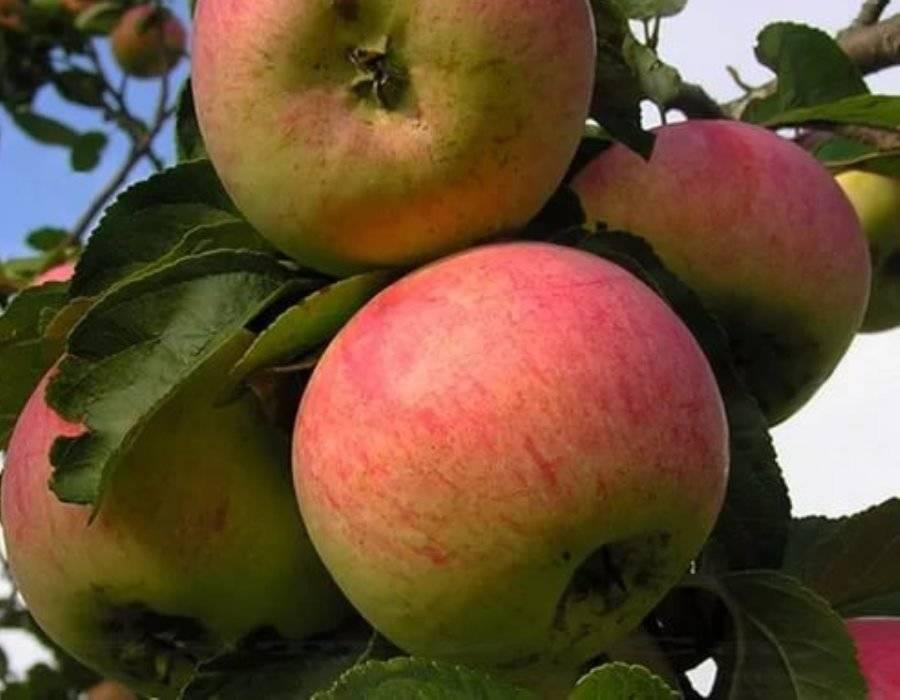 Описание сорта яблони антоновка: фото яблок, важные характеристики, урожайность с дерева