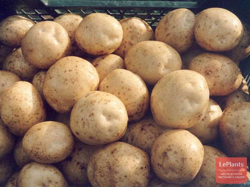 Описание и характеристики сорта картофеля Лабелла, правила посадки и уход