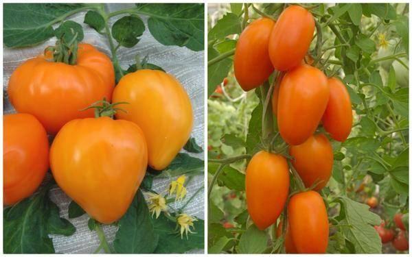 Томат красная шапочка: характеристика и описание сорта, выращивание и уход