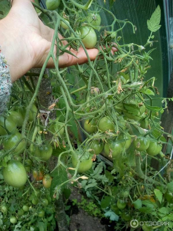 Помидоры чио-чио-сан: фото урожая, отзывы