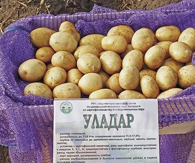Картофель манифест описание и характеристика сорта урожайность с фото