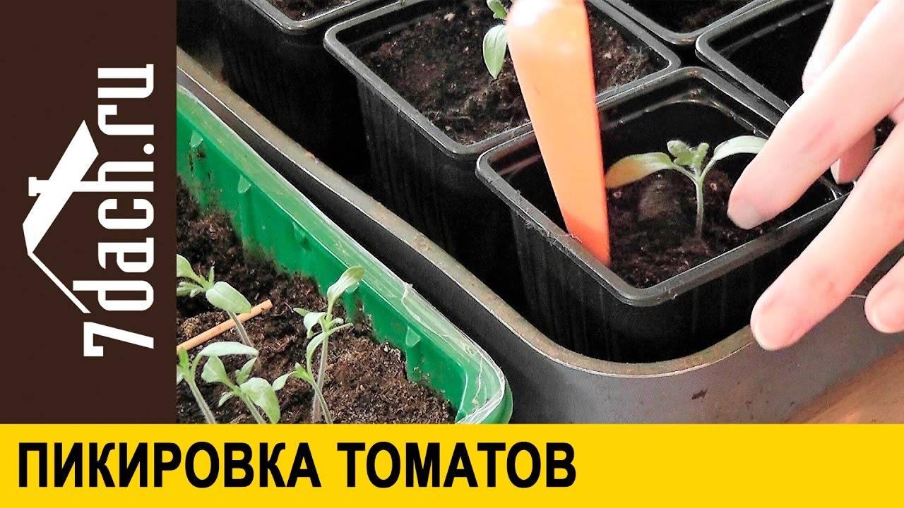 Советы ганичкиной: посадка помидор, уход за рассадой