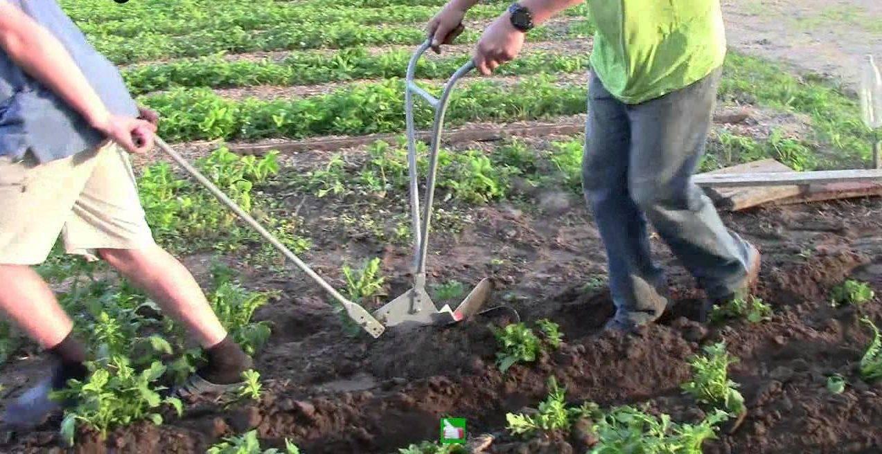 Подходим к выращиванию картофеля с умом: советы о том, как получить хороший урожай без прополки и окучивания