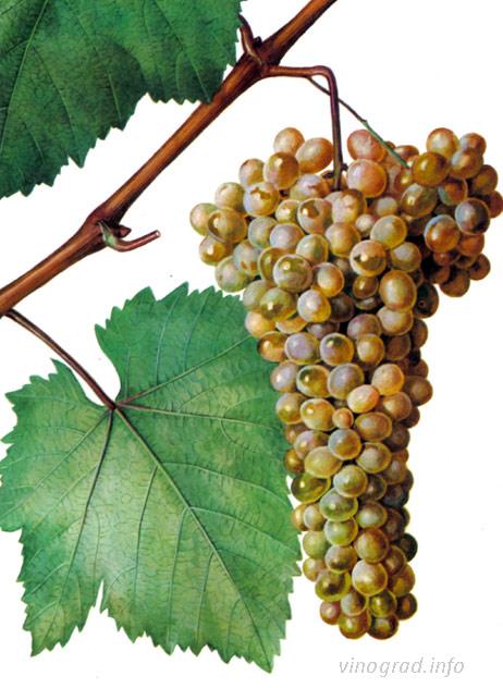 Грузинский винный сорт винограда ркацители
