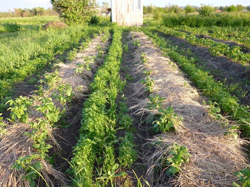 Окучивание картошки мотокультиватором — тонкости процедуры