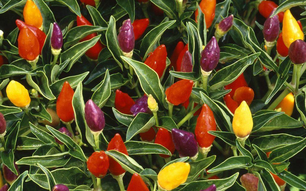 Декоративный перец - уход, выращивание и особенности посадки декоративного перца (120 фото)